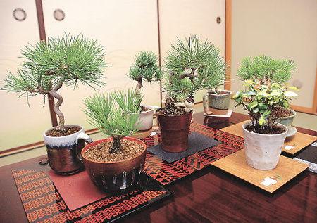 ひのうえ松楽園が開発した手入れが簡単な盆栽