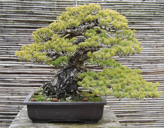 A goyomatsu (Japanese white pine) bonsai in a container. It is 62 centimeters (24.4inches) high and more than 100 years old.
