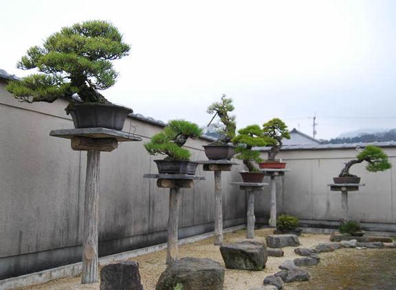Corner Exhibition Stands Yard : Kiyoshi hiramatsu(hiramatsu seijuen bonsai garden