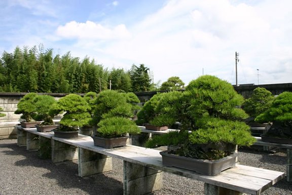 Bonsai trees in containers on shelves at Kandaka Shojuen bonsai center in the Kinashi area in the city of Takamatsu