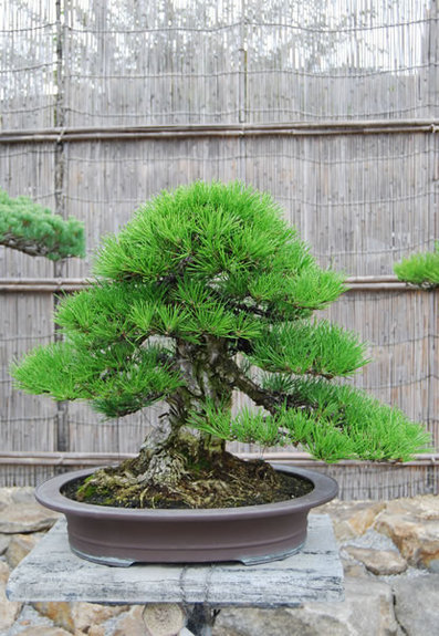A kuromatsu (Japanese black pine) tree in a container at Shunshoen bonsai outlet in the Kokubunji area in the city of Takamatsu