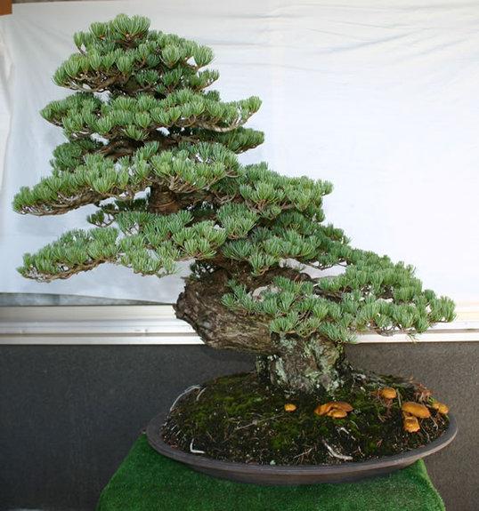 A 50-year-old ginyatsubo-goyomatsu (Japanese white pine) tree at Kamitaka Shojuen in Takamatsu's Kinashi area