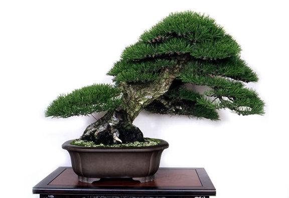 A kuromatsu (Japanese black pine) tree grown by Isamu Yano of Kanonji, Kagawa Prefecture, that was awarded the education minister's prize in last year's Green Festa Kokubunji bonsai fair