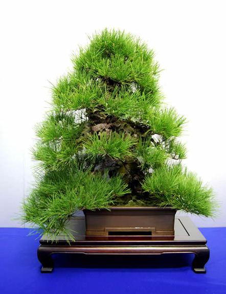 大正末期に接ぎ木した錦松=高松市国分寺町、専松園