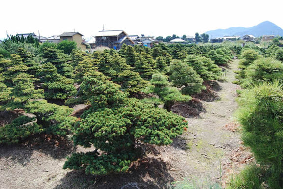 Bonsai fields in Takamatsu's Kinashi area.