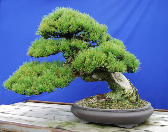 An about 300-year-old kuromatsu (Japanese black pine) tree at Kandaka Shojuen bonsai garden in the Kinashi area in the city of Takamatsu