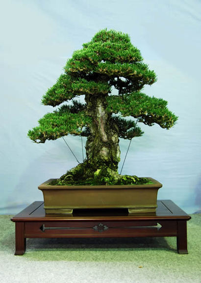 A kuromatsu kotobuki tree at Nakanishi Chinshoen bonsai garden in the Kinashi township in the city of Takamatsu. It is 60 centimeters high and about 50 years old.