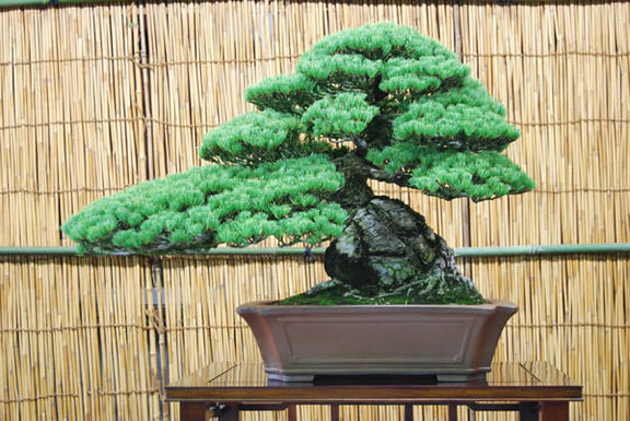 A goyomatsu (Japanese white pine) tree at Kandaka Shojuen bonsai garden in the Kinashi township in the city of Takamatsu. It is 56 centimeters high and about 80 years old.