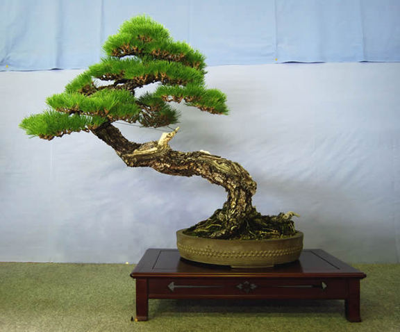 A kuromatsu tree at Ideue Kikkoen bonsai garden in the Kinashi township in the city of Takamatsu. It is 74 centimeters high and more than 40 years old after being picked from the wild.