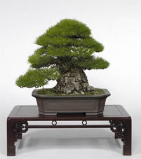Masterpieces in Kokubunji township<br />Dynamic kuromatsu (Japanese black pine) tree stands out