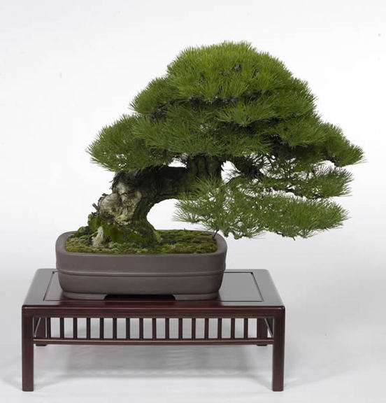 The kuromatsu tree that won the environment minister's prize. It is 46 centimeters high and about 80 years old. It is owned by Michiyo Yano from Onohara in the city of Kanonji, Kagawa Prefecture.