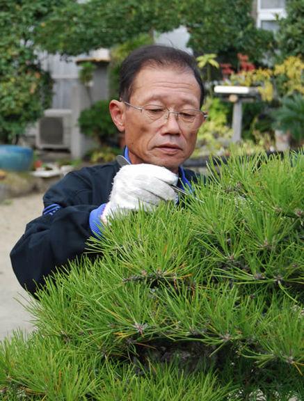 Masaaki Yoshihara removes old leaves at Yoshihara Keishoen bonsai garden in Takamatsu's Kokubunji town.
