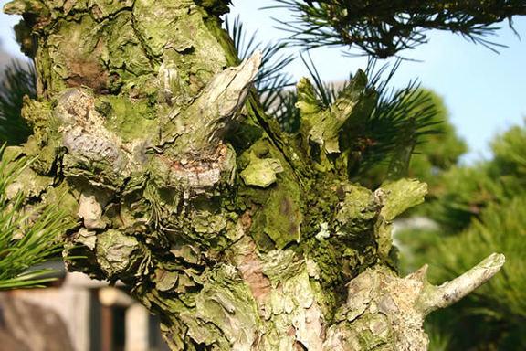 島木独特の荒々しい幹