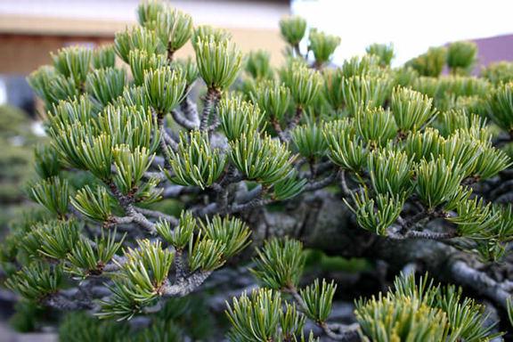 銀八ツ独特の銀色っぽい短い葉