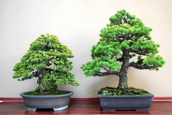 那須五葉松(右)と瑞祥の成木