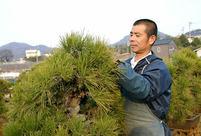 錦松(1)国分寺が発祥 魅力は皮の割れと古色