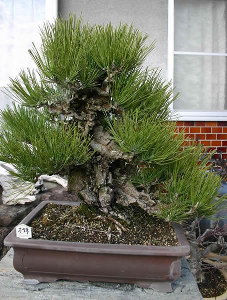 夢錦の親木
