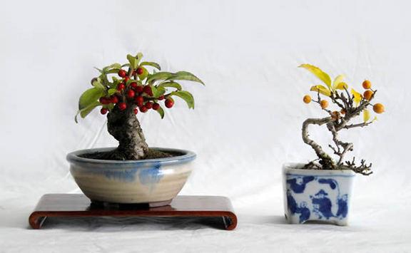ウメモドキ(左)とツルウメモドキ