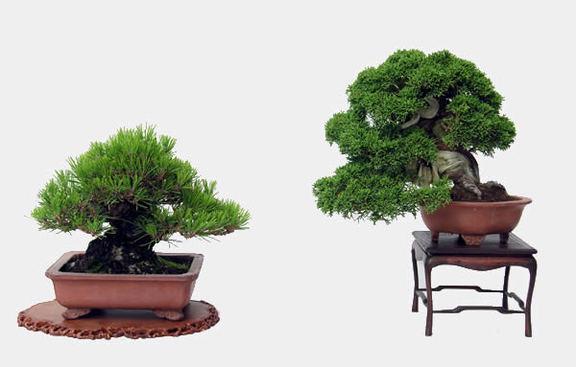 平松さんが育てた小品盆栽。左から黒松とシンパク