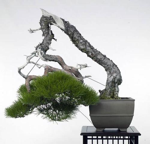 数々の賞を受けた赤松の名木