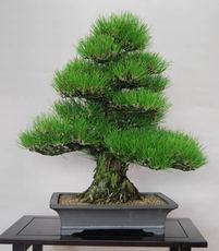 樹形(1)直幹と斜幹 持ち味生かし理想追求