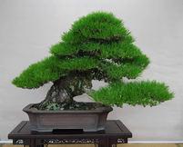 樹形(2)模様木と文人木 異なる風情で人気二分