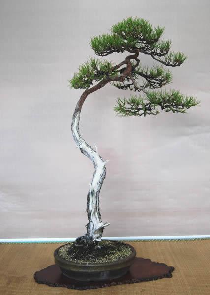 幹の舎利も美しい文人木