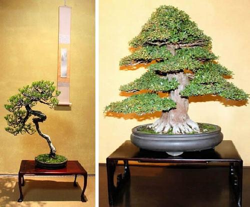 花澤さんの赤松(左) 松田さんのサツキ(右)