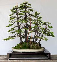 樹形(4)寄せ植えと石付き 「調和」で個性引き出す