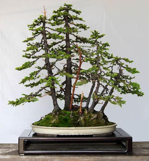 深山の雰囲気が漂うエゾ松の寄せ植え