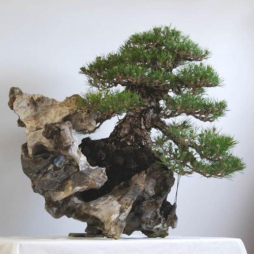石と木が絶妙に絡む石付き