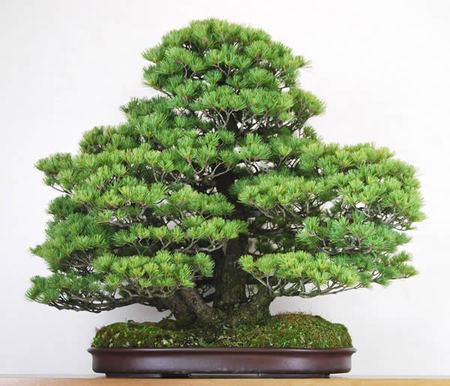 大木感のある五葉松の株立ち