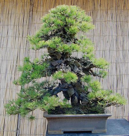 樹齢約90年の錦松「赤芽末広」