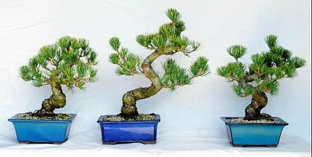 針金掛け教室で使用する樹齢十数年の五葉松