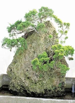 高さ78センチの水岩石に植えたシンパク(上)と黄金柏