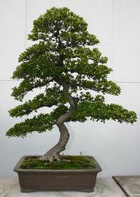 サツキ(上)人気の樹形 待望のシーズン到来
