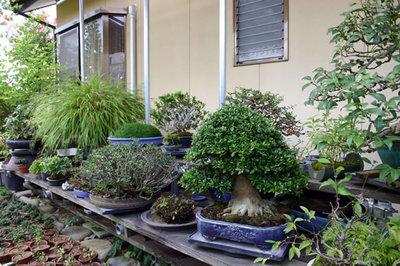 雑木の鉢が並ぶ棚場