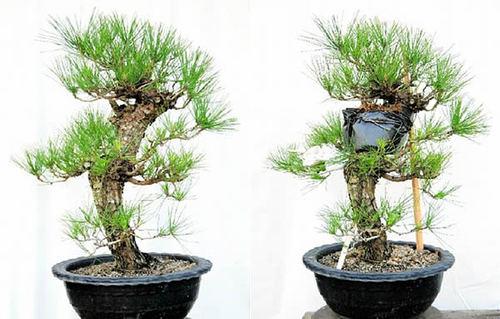 取り木を施す前の黒松(左)と後の黒松