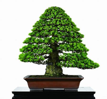 グリーンフェスタ国分寺で展示する岩崎さん所蔵の瑞祥「旭光」