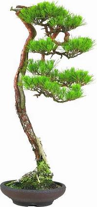 鬼無で展示する赤松の文人木