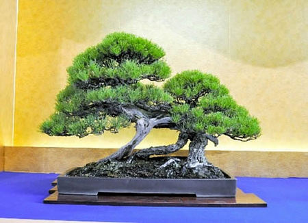 樹齢約300年の黒松