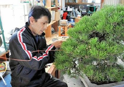 黒松の名木に針金を掛ける平松さん