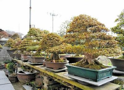 庭にはサツキの名木が並ぶ