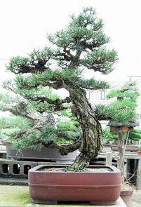黒松の新品種・旭龍 葉は太く幹の育ち早い