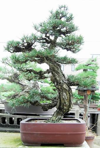 「旭龍」の親木