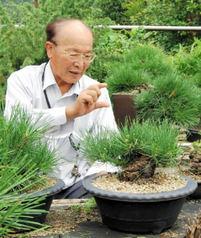 黒松「瑞宝」 挿し木の技術開発に期待