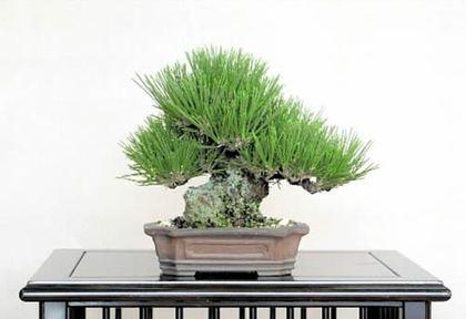 「瑞宝」の小品盆栽