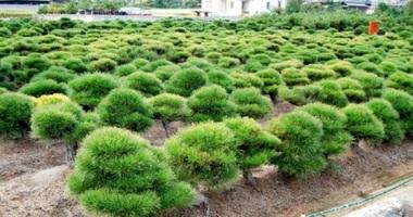松が整然と植わる畑