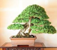 ASPAC盛況 名園と銘樹、松の競演