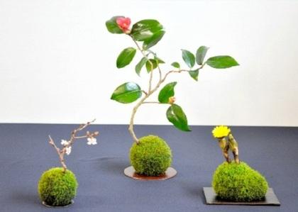 花澤さんのサクラ、ツバキ、フクジュソウの苔玉